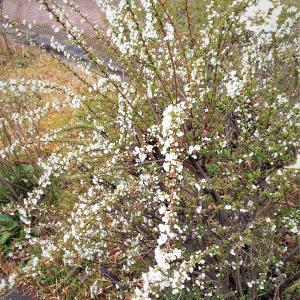 山茱萸の花♬