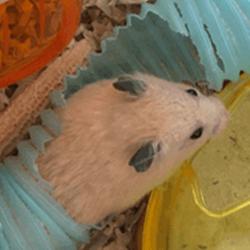 【驚愕⁉】古いおやつを捨てようとした結果!ハムスターの「まめた」お菓子の容器有効利用!