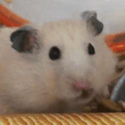 【癒し】ハムスターの「まめた」新しいごはんに首ったけw一生懸命食べる姿にほっこり!