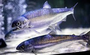 「幻の魚は生きていた」1……問題提起文とその答えにあたる文の探し方をおさえよう