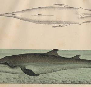 動物学者が目撃した謎の生物 ~ ジグリオーリクジラ