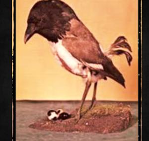 常にぼやけてる、、、よく見えない鳥 ~ ベア・フロンテッド・フッドウィンク