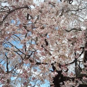 満開の桜、公園をちょっとお散歩しました