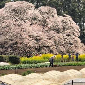 吉高の大桜 (千葉県印西市)