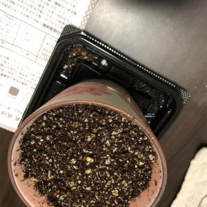 山桜の盆栽に種まき