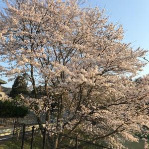 桜は満開の春なのに・・・