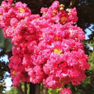 百日紅(さるすべり)の艶やかな季節