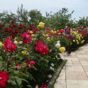アルカディア広場を囲んで、バラがいっぱい。…③