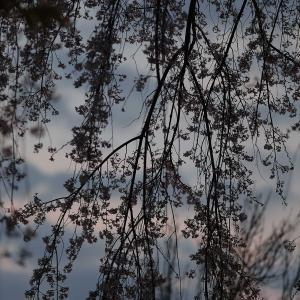 枝垂れのベール