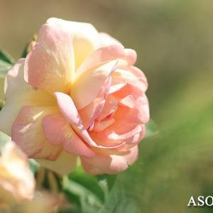 EF85LII で薔薇を撮ってみた