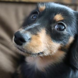 カニンヘンダックス 子犬期 生後151日~160日