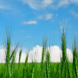 大麦若葉(ベアートグラス)と小麦若葉(ウィートグラス)の違いとは