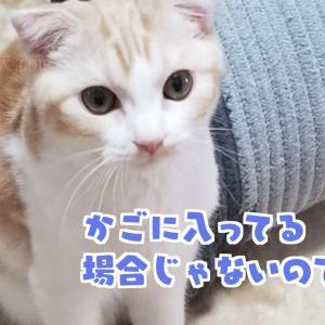 【かご猫】スコティッシュホールドの天とかご