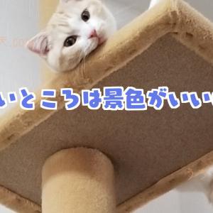 【タワー猫】スコティッシュホールドの天と猫タワー