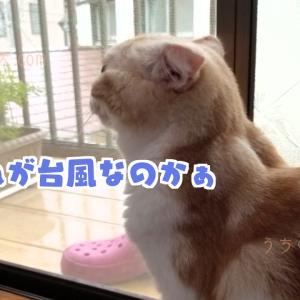 【台風と猫】スコティッシュホールドの天(てん)とはじめての台風【癒しの猫ブログ】