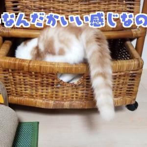 【すきま猫】スコティッシュホールドの天(てん)とタンスの隙間