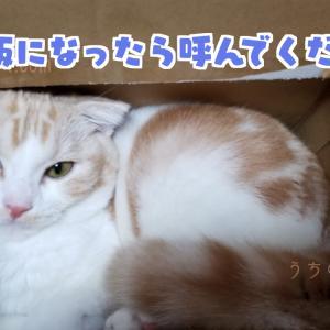 【段ボール猫】スコティッシュフォールドの天がただただ段ボールにログインしている話【癒しの猫ブログ】