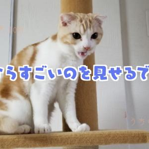 【回転猫】スコティッシュフォールドの「天」ついに必殺技を編み出す!【癒しの猫ブログ】