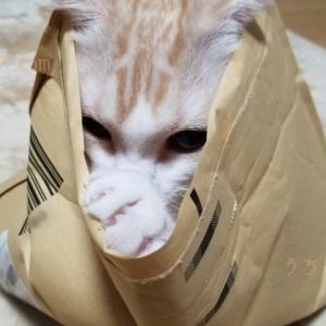 【猫】どっきりさせてやるぜぃ!【スコティッシュフォールド】