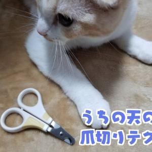 ちょっとしたコツで嫌がらなくなった。私が実践している猫の爪切り方【スコティッシュフォールド編】