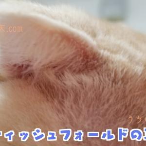 【猫】うちでは毎日する。スコティッシュフォールドの耳掃除の方法