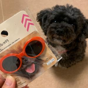 ダイソーで話題の商品【犬のサングラス】可愛すぎる!