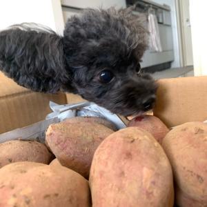 安納芋が鹿児島から届きました