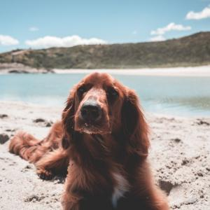 愛犬の被毛が生えてこないときの原因と病気