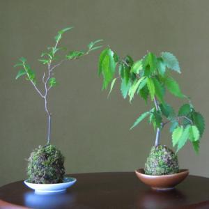 癒しのインテリアに最適な苔玉~簡単な作り方を解説~