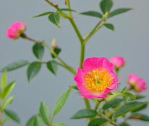 挿し木した苗バラの鉢上げをしました