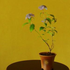 山アジサイの挿し木をしました~花の終わった後に株を増やす~