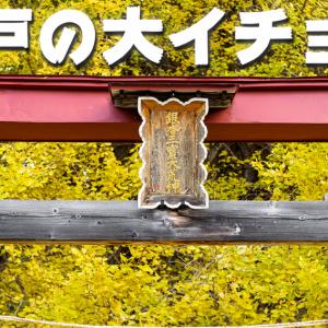 今が見ごろ!神戸の大イチョウ