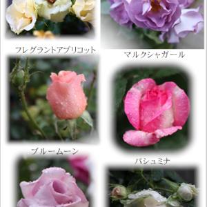台風被害と雨の日のバラ