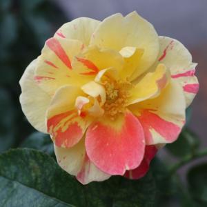 ご近所のバラとシャンテロゼミサト