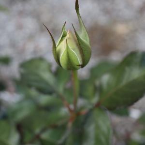 美味しいごはんとバラと裸苗の植え直しとバラ