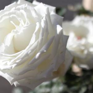 【よそ様のバラはとっても綺麗に見える】