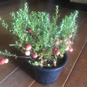 かわいすぎてクランベリーの苗木買っちゃった!