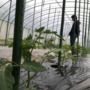 トマトの苗を植えた。