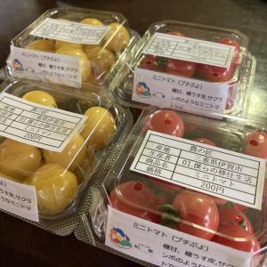 トマトの出荷始まる。