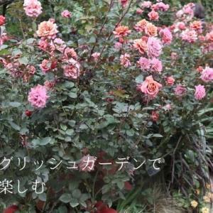 横浜イングリッシュガーデン(スーパーバイザー河合伸志さん)の美しい秋バラを楽しんできました