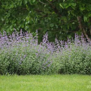 庭のキャットミントも咲いてきた