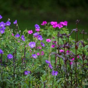 雨の日のほうが花の色がきれいなので