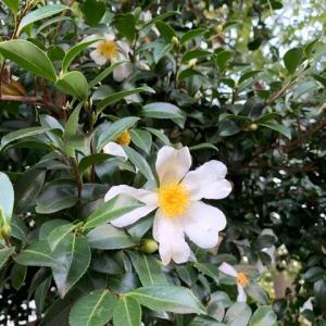 山茶花が咲き始めています