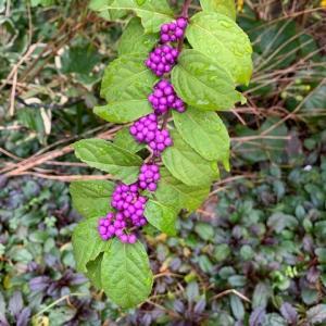 小紫の実が色濃くなりました