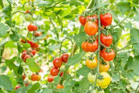 トマトを食べるベストな時間ってあるの・・・?