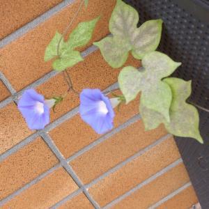 蒔いたわけでないのにアサガオが伸び、小さな花を咲き始めた!
