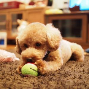 【犬のおもちゃ】ツナちゃん流遊び方