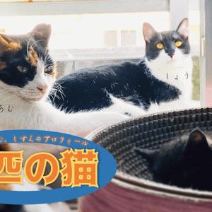 多頭飼い3匹の猫たちのプロフィール|しょう、あむ、しずく
