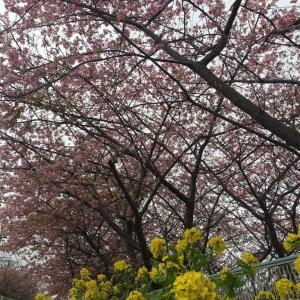 三浦海岸 河津桜 に行ってきた。