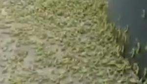 〇中国 侵入したバッタ被害 更に世界で頻発する昆虫大量発生事案